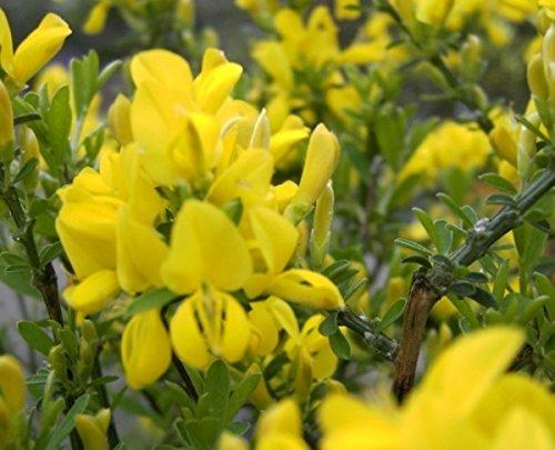 Cytisus x beanii - Kriechginster - Duftender Zwergginster - Kissenginster - duftend