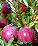 PLAT FIRM GERMINATIONSAMEN: Amerikanischer Cranberry Bush - Große Bodenbewuchs - Köstliche - 3,25
