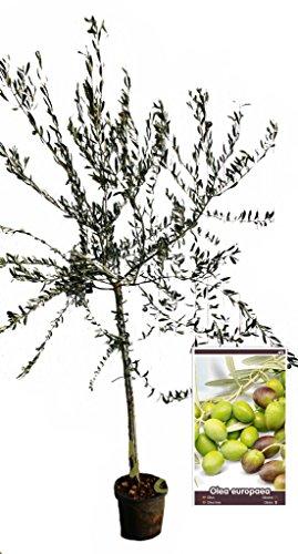 Olivo Arbequina - Árbol frutal de 1 a 2 años