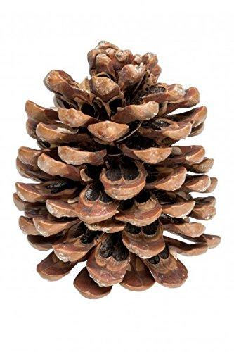 NaDeco Pinienzapfen 14-18cm   Pinienzapfe   Pinus Pinea   Pinien Zapfen   Tannenzafen   Kiefernzapfen
