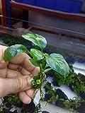 #6: Petlinks Anubias Broadleaf - Tissue Cultured Live Plant (Pack of 5)