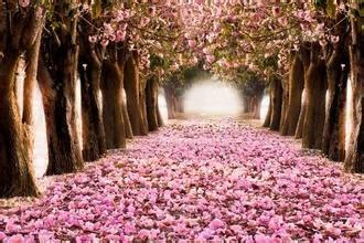 10 rosa Kirschblüten Baum Samen Sakura-Garten-Blumen-Bonsais