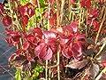 Wilder Wein - Jungfernrebe - Parthenocissus Quinquefolia - Kletterpflanze, sehr winterhart, leuchtend rote Herbstfärbung, 40-60 cm von Baumschule Anding - Du und dein Garten
