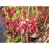 SILVESTRE Vino - Vid - Parthenocissus quinquefolia - planta trepadora, muy resistente frío, Brillante Rojo herbstfärbung, 40-60 cm