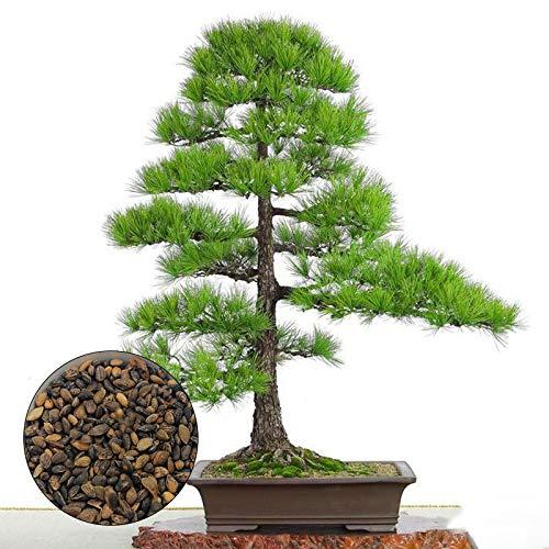 Pine Tree Garden Seeds (KINGDUO Egrow 60Pcs/Bag Thunbergii Garden Black Pine Tree Seeds Flores Potted Plants Japanese Pine Tree)