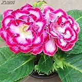 Pinkdose ZLKING 200 STÜCKE Brasilianisches Gloxinia Mehrjähriges BlüHen Buntes Billiges Leben Organischer Natürlicher Regenbogen Blumen Garten: 8