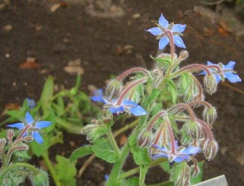 Seedeo® Borretsch (Borago officinalis) 100 Samen