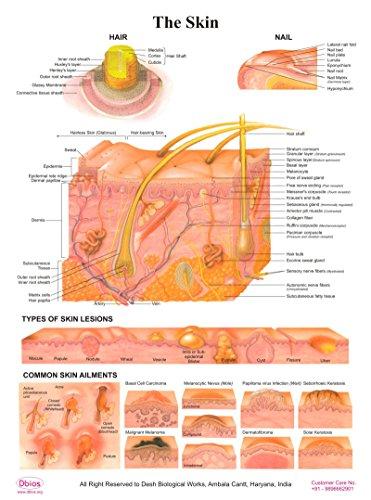 Dbios Poster laminato della pelle, dei capelli / Nail / tipi di lesione cutanea / comune della pelle Grafici disturbi educativi
