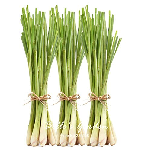 30pcs véritable Lemon Grass Seeds citronnelle vivace Bonsai usine de bricolage Théier jardin DIY plante en pot