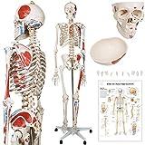 Menschliches Anatomie Skelett 181.5 cm | mit Muskelbemalungdetails, inkl. Schutzabdeckung, mit Ständer, Standfuss und Lehrgrafik Poster, Lebensgroß | Anatomie Lernmodell, Lehrmittel, klassisches Skelett