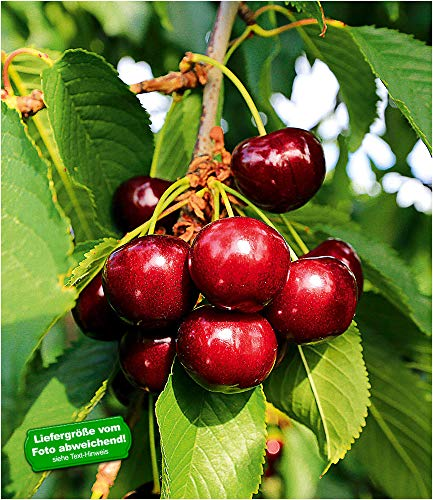 "BALDUR-Garten Selbstfruchtende Süßkirsche""Paulus"", 1 Pflanze Kirschbaum"