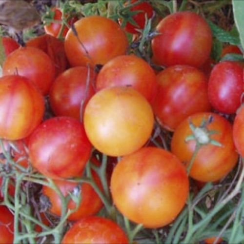 Tomate cerise Isis Bonbons, 25 graines non-OGM