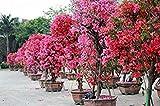 Freies Verschiffen 100 Mix Farbe Bougainvillea Balkon Topf, Garten Bonsai Blume Pflanze enorm auffällige, floriferous robuste Pflanze 4