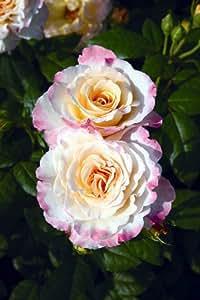 Duftrose Tantau Aquarell®, 1 Rosenstock im Topf gepflanzt