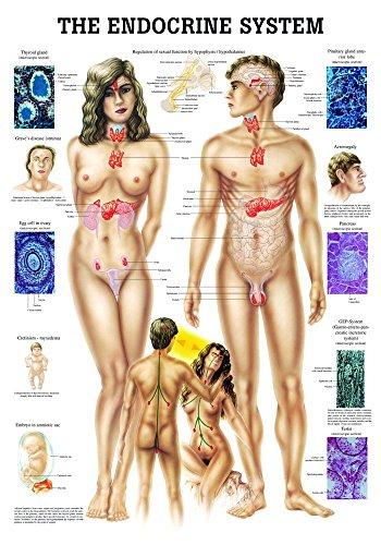 Ruediger Anatomie CH15LAM The Endocrine System Tafel, englisch, 70 cm x 100 cm, laminiert