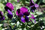 Premier Seeds Direct VLA02F Viola Cornuta Prince Henry Finest Seeds (Pack of 150)