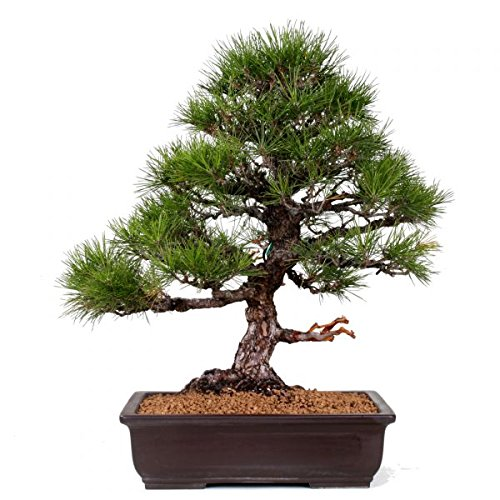 Bonsai - Rarität, mächtige Pinus thunbergii, Schwarzkiefer 154/30