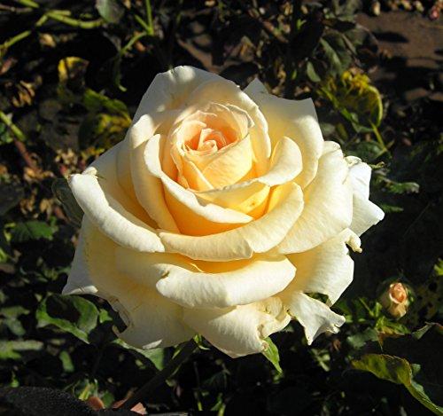 Pianta di Rosa a CESPUGLIO BREVETTATA Revival  PROFUMATA VERA in vaso 20CM ROSE BARNI AMDGarden