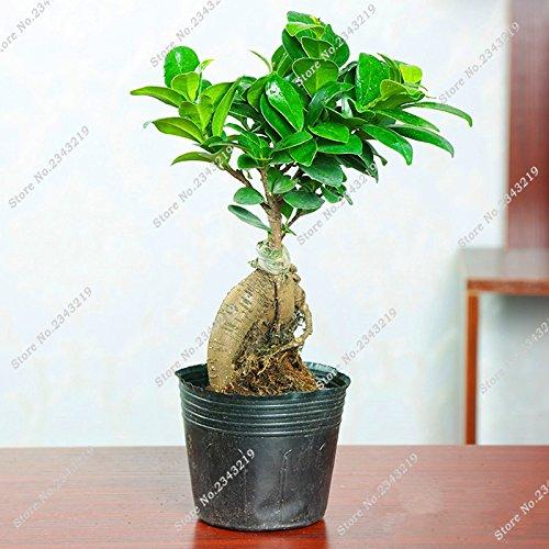 Ficus Bonsai-Optik