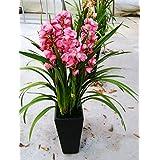 El envío libre 100 PC / paquete de semillas Semillas de jardín Bonsai único de la flor de la mariposa 4 de la orquídea