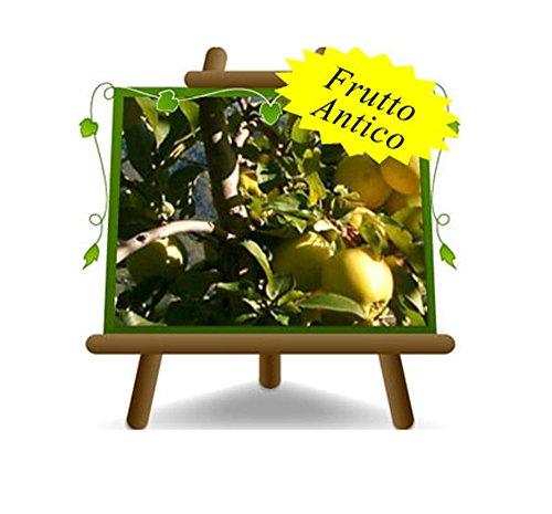 pommier Golden Delicious Val di Non Plante fruitière vieux sur un pot de 26 - max 200 cm - 4 ans