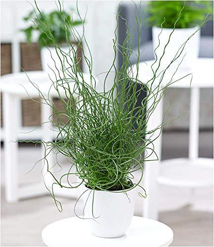 BALDUR-Garten Liebeslocke Juncus Spiralis, 1 Pflanze Zimmerpflanze