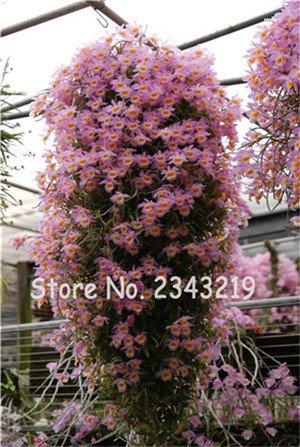 100 Pcs Dendrobium graines, semences de fleurs en pot Bonsai d'orchidées rares en herbe 95% Taux de couleurs mélangées 13