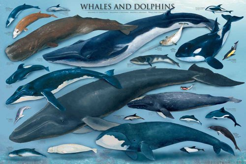 Empire Educational Whales and Dolphins - Póster ballenas