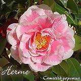 Kamelie 'Herme' - Camellia japonica, Grupo de precio:6