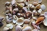 100 g) kleine Muscheln Muschel für Bastel- und Display, 1,5 cm - 3,0 cm - 3