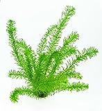 5 Töpfe Wasserpest / Egeria Densa, winterharte Sauerstoffpflanzen, Klärpflanzen im Topf