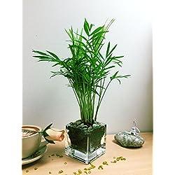 Einfach Pflanzen Parlour Palm bergpalmen Elegans in Quadratisch Glas Vase Cube