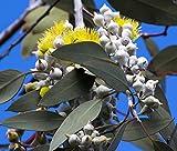 Zitronen-Eukalyptus 10 Samen, Eucalyptus citriodora, Lemon Gum