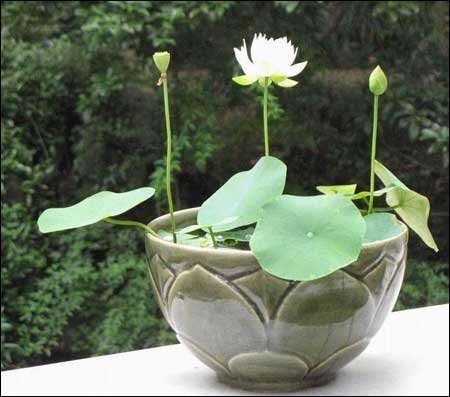 Lotus Flower Seeds – Nelumbo Nucifera – Aquatic Seeds -5 Seeds by Creative Farmer