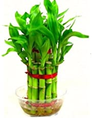 SMZ BRANDLINES 2 Layer Lucky Bamboo Indoor Plant for Feng Shui (Green, Total About 20 Stalks)