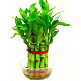 SMZ Brandlines - 2 Layer Lucky Bamboo Indoor Plant For Feng Shui (Total About 20 Stalks)