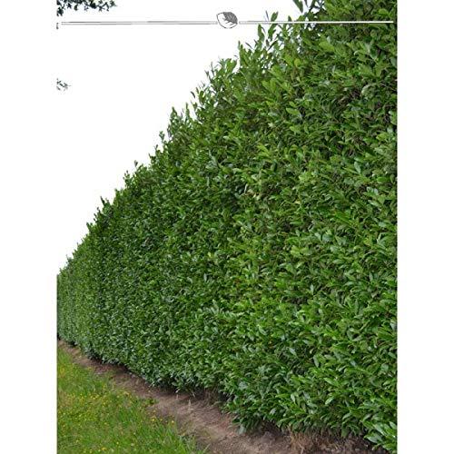 Kirschlorbeer Caucasica 140-160 cm. Angebot - Lorbeerhecke