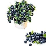 QHYDZ Garden-50/100pcs Semillas Arándanos Azul, Semillas Deliciosa Blueberry Frutales Planta para...