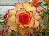 #10: Aiden Gardens ADENIUM OBESUM DESERT ROSE Orange red Double flower 1 Helathy Live Plant Seedling