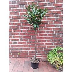 Kirschlorbeer Hochstamm - Prunus lauroceraus Caucasica, Höhe: 130-140 cm, immergrün + Dünger