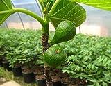 Feige Busch-Baum Desert King süß-aromatisch 60-100