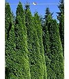 Lebensbaum Thuja Smaragd 180-200 cm EXTRA, 8x Heckenpflanze, inkl. Versand