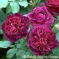 Englische Rose Munstead Wood ® Ausbernard ® Containerrosen im großen 7,5 Liter Topf von Gartencenter Bartels auf Du und dein Garten
