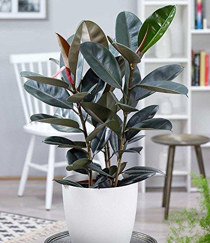 "BALDUR-Garten Gummibaum""Abidjan"" ca. 70 cm hoch, 1 Pflanze Ficus elastica Zimmerpflanze"