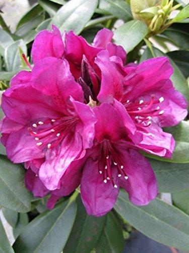 Rhododendron hybr. Polarnacht - Großblumige Alpenrose Polarnacht - 30-40 cm