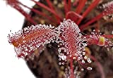 Fangblatt - Drosera Capensis 'all red' - der seltene rote Kapsonnentau aus Südafrika - eine der schönsten Arten des Sonnentau - faszinierende fleischfressende Pflanze