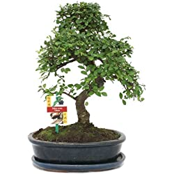 Bonsai chinesische Ulme - Ulmus parviflora - ca. 10 Jahre