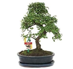bonsai chinesische ulme ulmus parviflora ca 10 jahre garten. Black Bedroom Furniture Sets. Home Design Ideas