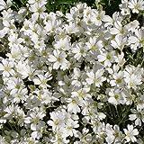 Hornkraut 'Silberteppich' - Cerastium tomentosum 'Silberteppich' - robuste, anspruchslose Pflanze, guter Bodendecker