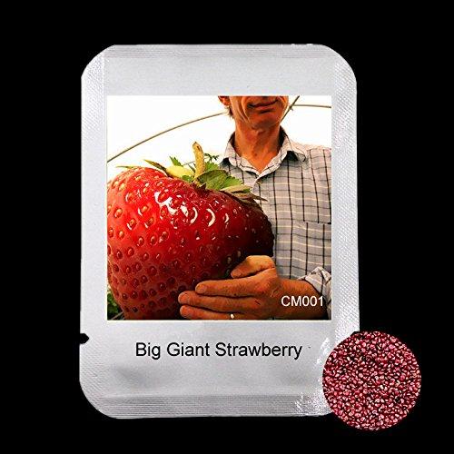 Emballage nouveau - 100 pcs Rare semences géant Grande de la fraise, grandes extra-seeds fruits douce Delicioso quatre saisons pour cadeaux, # CM001
